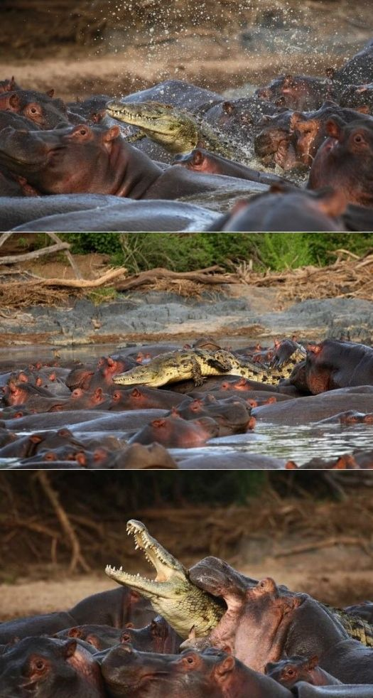 Croc - 0  Hippo - 1