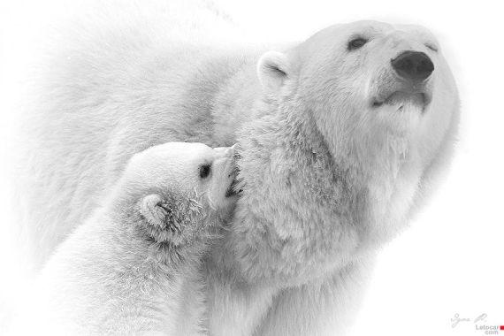 polar-bears5