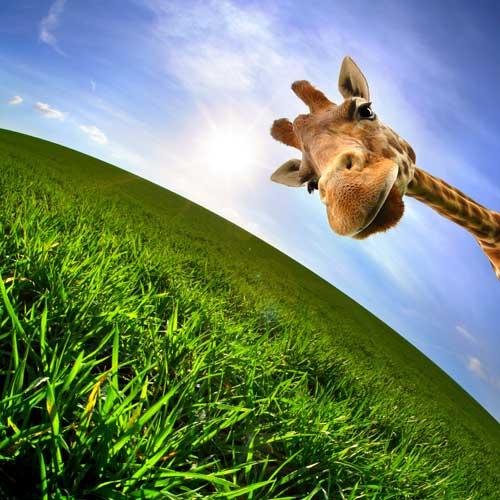 giraffe-who-z-there-500x500
