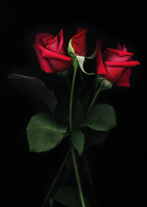 red-roses-for-you-500x704