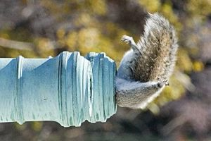 squirell-in-pipe