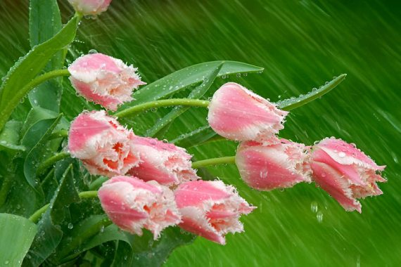 """Parrot Tulips in the Rain"" by Don Paulson"