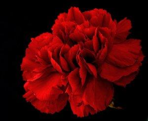 pretty flower red